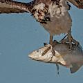 Osprey Morning Catch Up Close by Susan Candelario