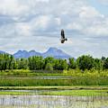Osprey Over The Wetlands by Kathleen Bishop