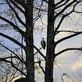 Osprey Perched Between Trees by Cynthia Guinn