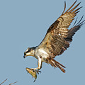 Osprey With Fish by Judi Dressler