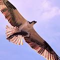 Osprey With Fish Overhead by Carol Groenen