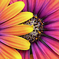 Osteospermum Purple Sun Flower Abstract by Tim Gainey