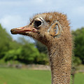 Ostrich Head by Phil Banks