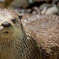 Otter Photograph 1, Animal Decor, Animal Artwork, Otter Artwork, Otter Art,  by David Millenheft