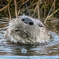 Otterly Contented 9790 by Dan Beauvais