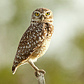 Owl On Blurred Background by © Jackson Carvalho