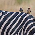 Oxpeckers And A Zebra by Mark Hunter