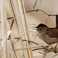 Marsh Wren Song by Sue Harper