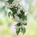 Painted Crabapple Blossom Cascade by Anita Pollak