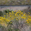 Painted Ladies And Brittle Bush Salton Sea by Colleen Cornelius