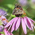 Painted Lady 2019-1 by Thomas Young