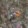 Painted Lady Butterflies On Peacock Pink Wildflower At Salton Sea by Colleen Cornelius