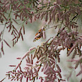 Painted Lady Butterflies On Pink Chinese Saltcedar by Colleen Cornelius