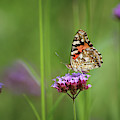 Painted Lady Butterfly Dreams by Karen Adams