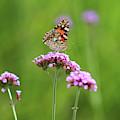 Painted Lady Butterfly In Green Field by Karen Adams