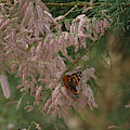 Painted Lady On Pink Chinese Saltcedar by Colleen Cornelius