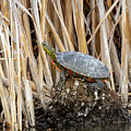 Painted Turtles by Michael Chatt