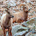 Pair Of Bighorn Sheep In The Mountains by Steve Krull