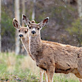Pair Of Mule Deer On A Snowy Morning by Steve Krull