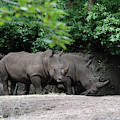 Pair Of Rhinos Standing In The Shade Of Trees by DejaVu Designs