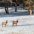 Pair Of Winter Morning Elk Herd by Steve Krull