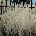 Pampas Grass And Iron by Colleen Cornelius