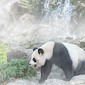 Panda In The Mist by Arterra Picture Library