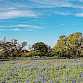 Panorama Of Field Of Bluebonnets And Oaks In Willow City Loop - Fredericksburg Texas Hill Country by Silvio Ligutti