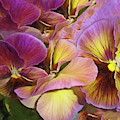Pansy Field In Violet And Yellow 12 by Lynda Lehmann