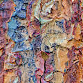 Paperbark Maple Tree Bark Colour by Tim Gainey