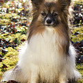 Papillon Sitting In Leaves by Donna Anderson