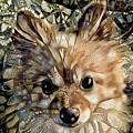 Paris The Pomeranian Dog by Peggy Collins