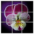 Partitioned Pansy by Debi Dalio