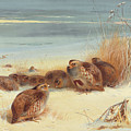 Partridge On A Frosty Morning, 1903 by Archibald Thorburn