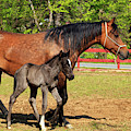 Paso Fino Horses by Jill Lang