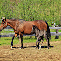 Paso Fino Mare Horse And Her Cute Colt by Jill Lang