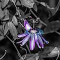 Passion Flower Only Alt by Dennis Dempsie