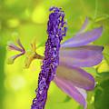 Passionate Purple Passiflora by Sabrina L Ryan
