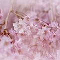 Pastel Pink by Lois Bryan
