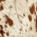 Pattern Of A Longhorn Bull Cowhide. by Rob D Imagery