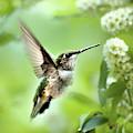 Peaceful Love Hummingbird by Christina Rollo