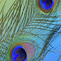 Peacock Color Pop Blue by Perry Correll