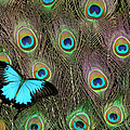 Peacock Feathers & Blue Butterfly by Darrell Gulin