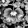 Pelargonium Magic Lantern Leaves Monochrome by Tim Gainey