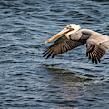 Pelican In Flight by Framing Places