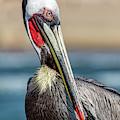 Pelican Pose by Kelley King