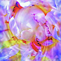 Peony Borealis by Cindy Greenstein