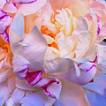 Peony Dreams  by Cindy Greenstein