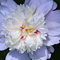 Peony Soft White by Anna Louise