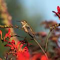Perched Rufous Hummingbird by Robert Potts